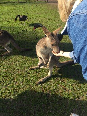 Cowes, أستراليا: Red Kangaroo