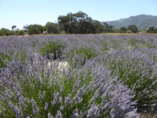 Andre Organic Lavender