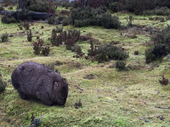 Cradle Mountain Wilderness Village: Great place to view wombats