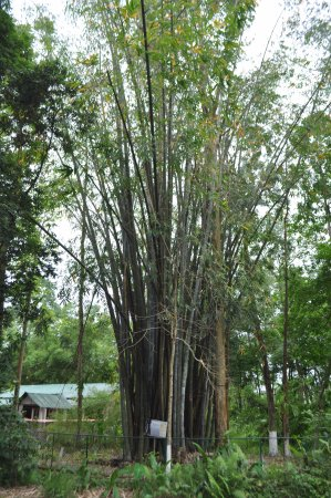 Balipara, India: Tall bamboos