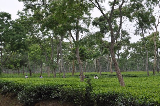 Balipara, India: Tea Garden adjoining the villas