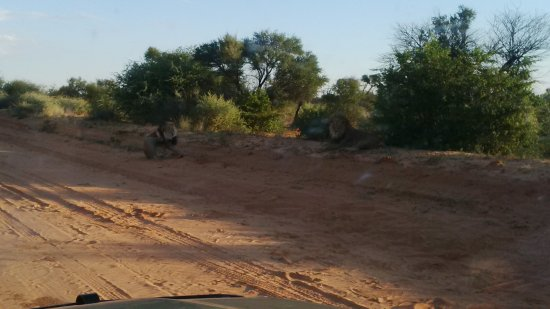 Kgalagadi Transfrontier Park, Botswana: These two kings of the jungle were spotted about 20km north of Mabuasehube entrance.