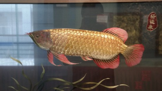 Ancient City Wall of Chaozhou: Double sided embroidery of a golden arowana on a piece of silk. Like a real fish in an aquiruim