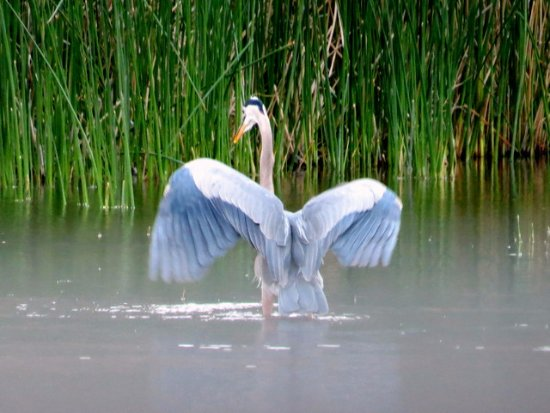 Summer Lake, OR: Great Blue Heron showing off in pond off our cabin deck
