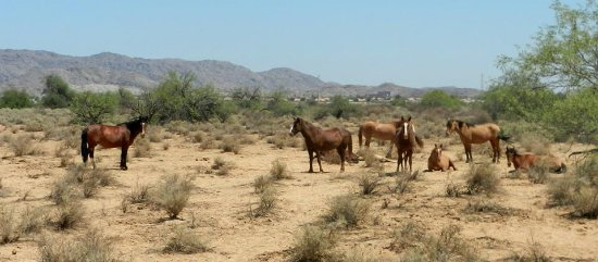 Sheraton Grand at Wild Horse Pass: wild horses we saw on our trail ride!