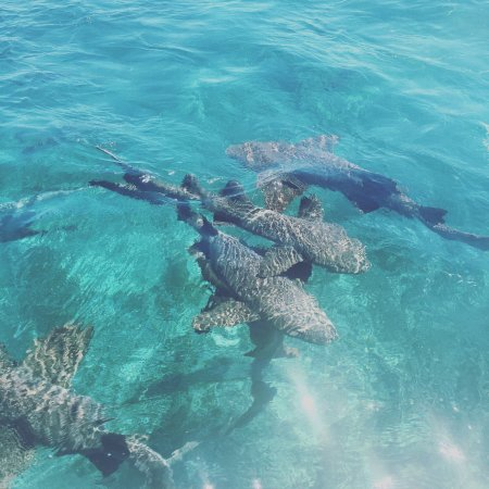 Caye Caulker, Belize: Sharks that are nothing like JAWS