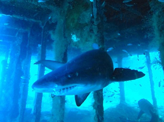 Discovery Diving : Sand tiger shark on the Aeolus shipwreck.