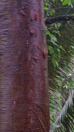 Toledo District, Belice: Gumbolimbo Tree or Tourist Tree - the bark turns red and peels - like a tourist