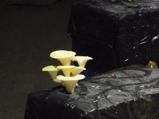Montsoreau, Frankrike: champignon comestible et jaune!!!