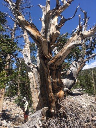 Parque Nacional Great Basin, NV: 樹齢数千年!