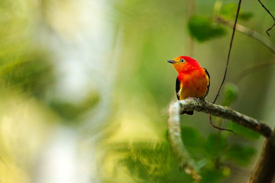 San Sebastian de la Selva: El Bailarin naranja una de las aves mas famosas