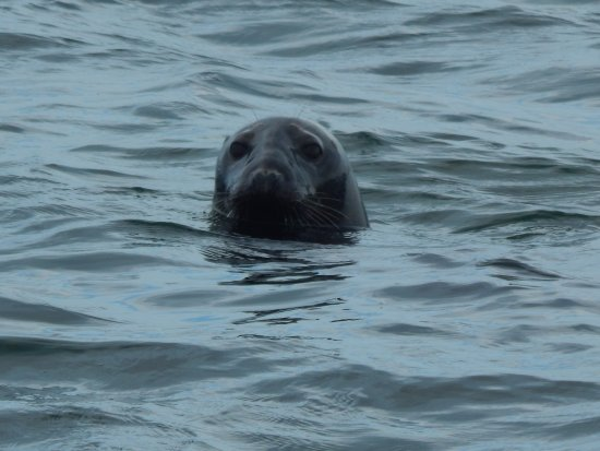 Harwich Port, MA: Gray Seal