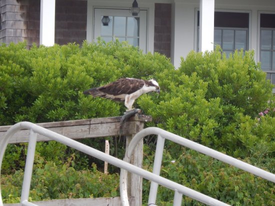 Harwich Port, MA: Osprey feeding