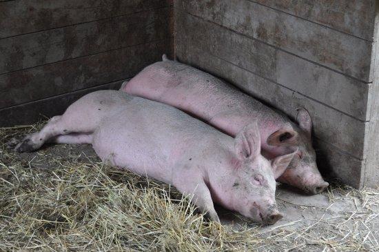 Harrison Mills, Kanada: Schweine
