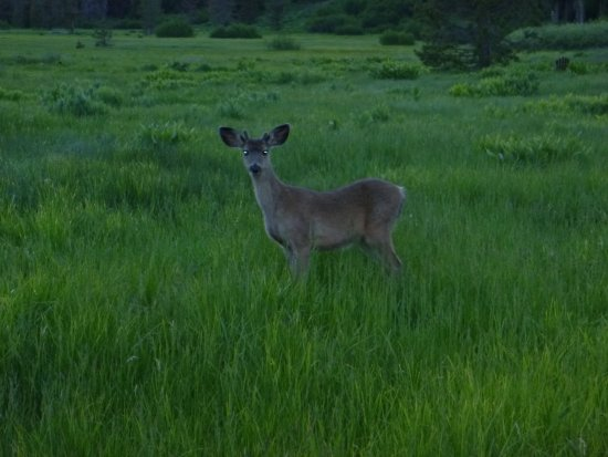 Drakesbad Guest Ranch: Curious deer