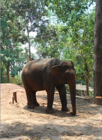 Elephant Adventures by Green Discovery Laos: Very distressed elephant!