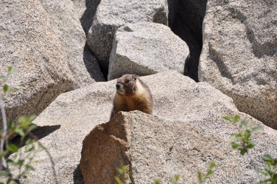 Three Rivers, CA: Marmot checking out the visitors..