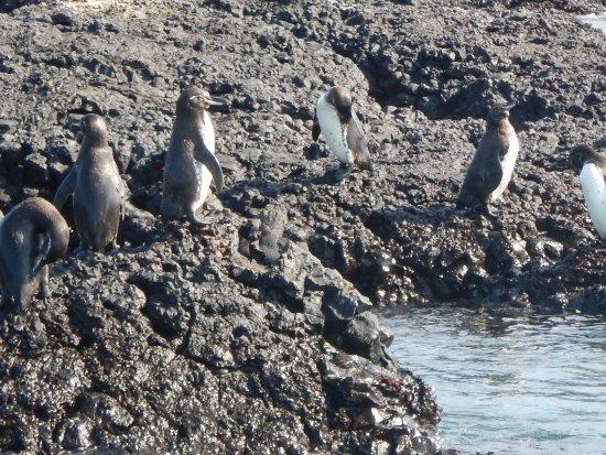 Puerto Villamil, Ecuador: Penguins a Tintereras