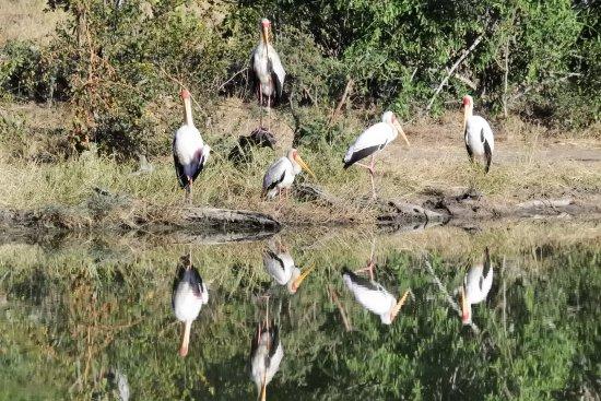 Timbavati Private Nature Reserve, Sudáfrica: Storks