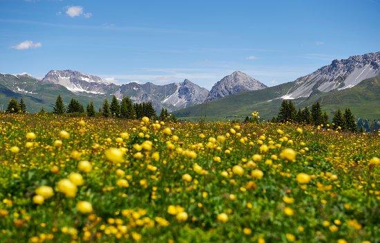 Arosa, Schweiz: Frühlingsblumen auf der Prätschalp