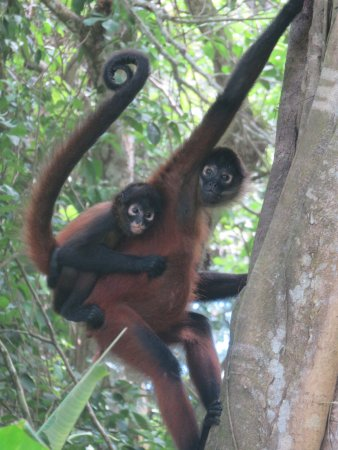 Bosque del Cabo Rainforest Lodge: spider monkey and baby