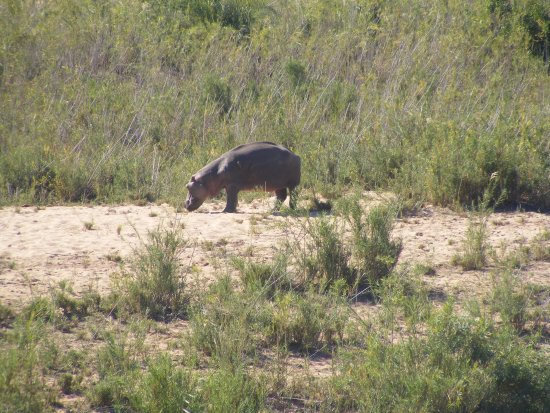 Skukuza, Güney Afrika: Hippo spotted from Restaurant