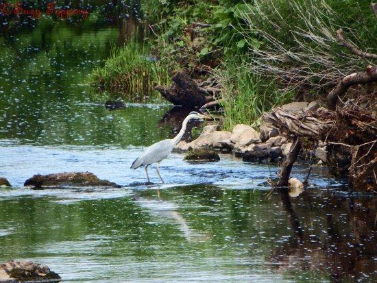 Brookeborough, UK: Heron in the Colebrooke River