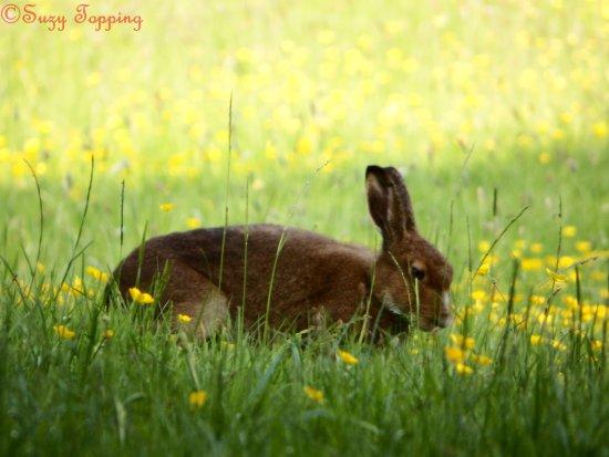 Brookeborough, UK: Irish Hare