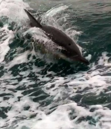 Cowes, Australia: Dolphins riding wake next to our boat