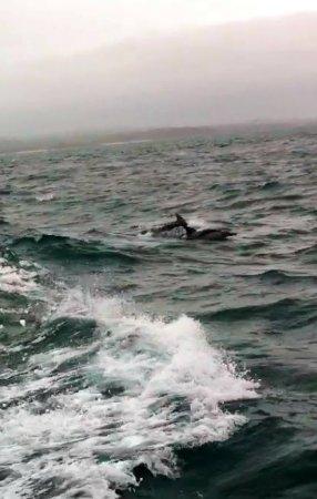 Cowes, Australien: Dolphin pod