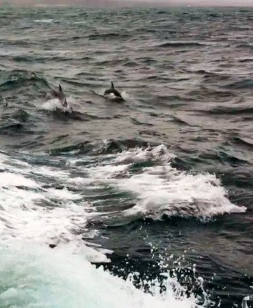 Cowes, Australia: Dolphins