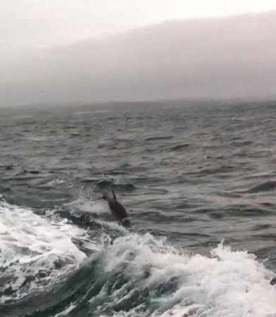 Cowes, Australia: Seal leaping next to boat