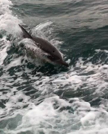 Cowes, Australia: Dolphin next to boat riding the wake