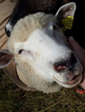 Whitefish Bay Farm : Make sure to see the sheep!