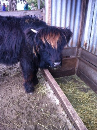 Phillip Island, Australia: Scottish highland Longhaired cattle on the farm