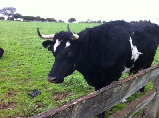 Phillip Island, Australia: Cattle on the farm