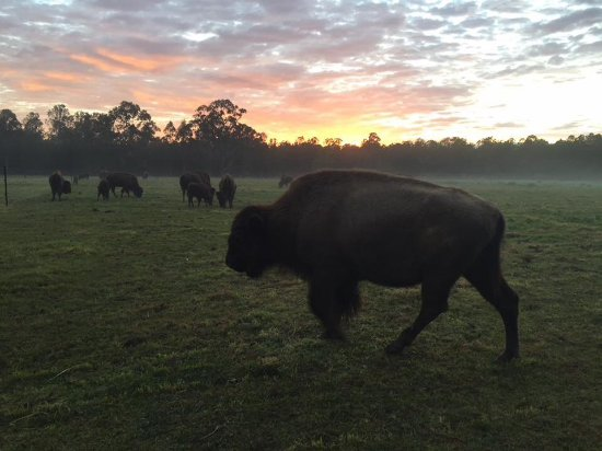 Myrtle Creek, Australia: Bison at sunrise