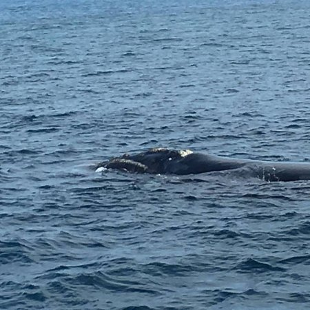 Cowes, Australia: Southern Right Whale