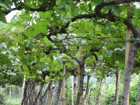 San Fernando La Union, Philippinen: green grapes for ripening