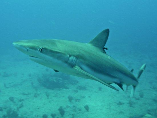 Simpson Bay, St. Maarten-St. Martin: Caribbean Reef Shark