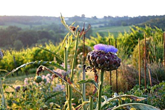 Saussignac, France: Artichoke flower and biodynamic vineyard at Chateau Feely