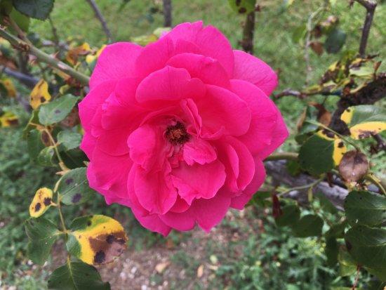 Una Rosa Foto Van Parchi Di Nervi Genua Tripadvisor
