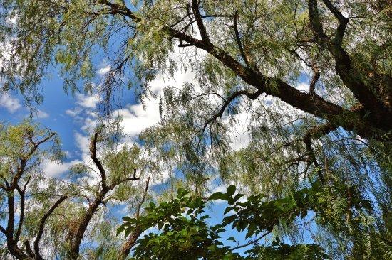 Villa Bellini : alberi giganteschi