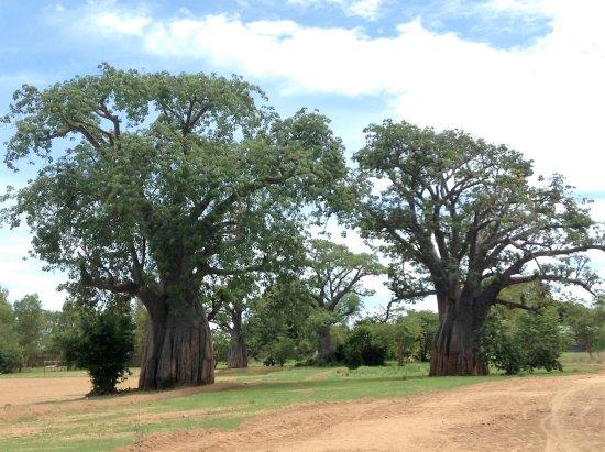 Likoma Island, Malawi: More baobabs