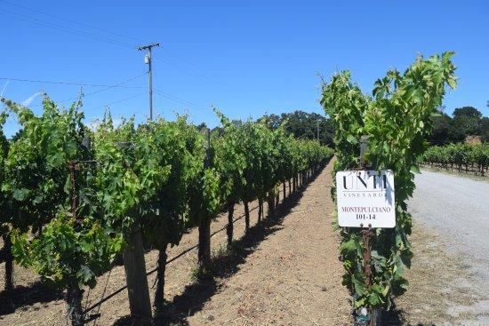 Unti Vineyards: The vineyard outside the tasting room.