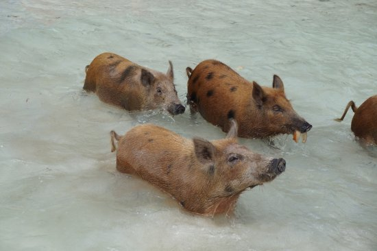 Treasure Cay, Great Abaco Island: Swimming Pigs!!