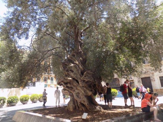 der alte olivenbaum wahrscheinlich 1000 jahre alt bild von placa de cort palma de mallorca. Black Bedroom Furniture Sets. Home Design Ideas