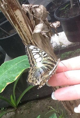 Quartier D'Orleans, St. Maarten: A beautiful butterly is sitting on my hand in the butterfly farm. It liked the nectar on my hand