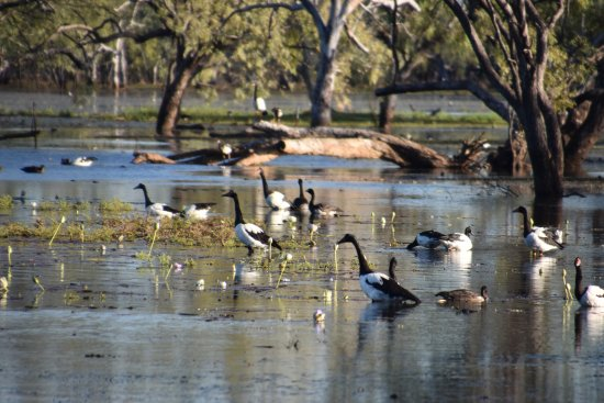 Normanton, Австралия: Magie geese make the lagoon their home