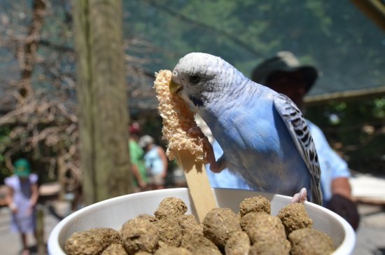 The Gulf Breeze ZOO: Blue Budgie having a snack